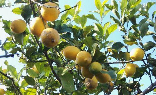 Casse Di Limoni 15 Kg