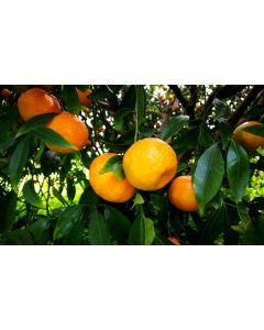 Casse Di Mandarino Varietà Tardivo Ciaculli 15 Kg