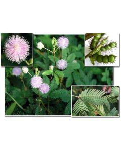 Mimosa Pudica 2g (min. acquisto 10 pezzi)