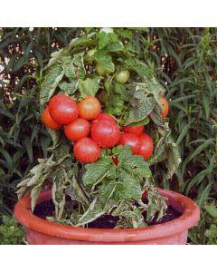 Pomodoro nano cappuccetto rosso 1 g BIO
